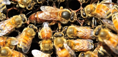 close-up image of bees in honeycomb